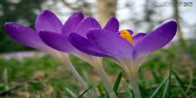 زعفران افغانستان در بازار ھای جھانی  در صدر قرار گرفته است
